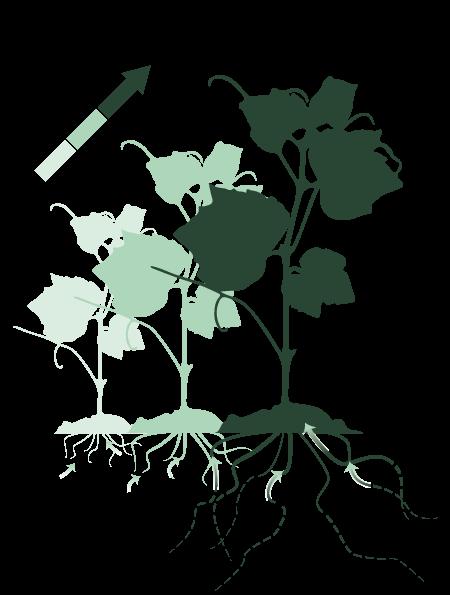 Un plant de vigne qui grandit