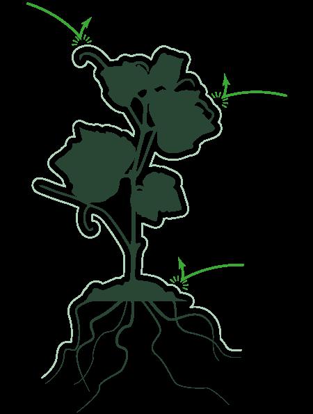 Un plant de vigne protégé