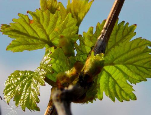 Printemps : la vigne redémarre !