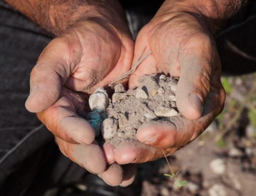 Homogénéité de la vigne : importance de la qualité du sol
